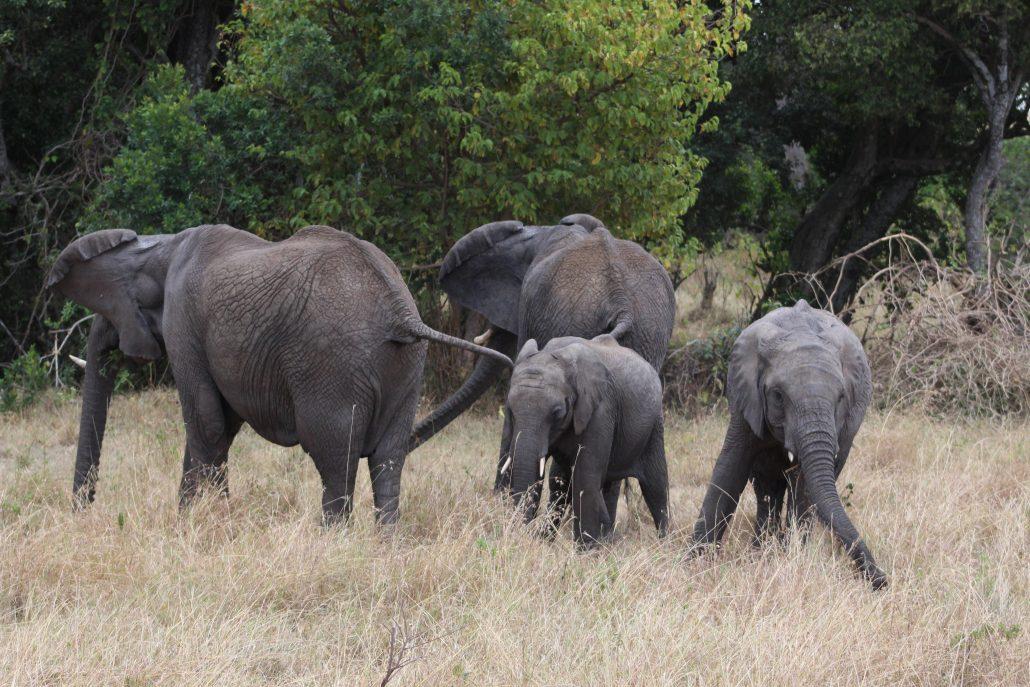 Kenya Safarisinde Filler