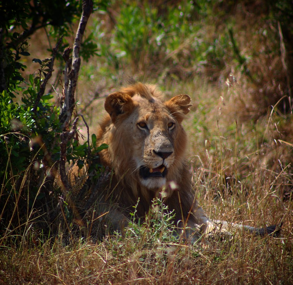 Kenyada safari - arslan