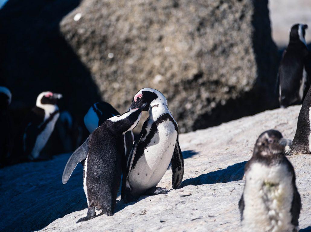 cape town penguenler - guney afrika gezi rehberi