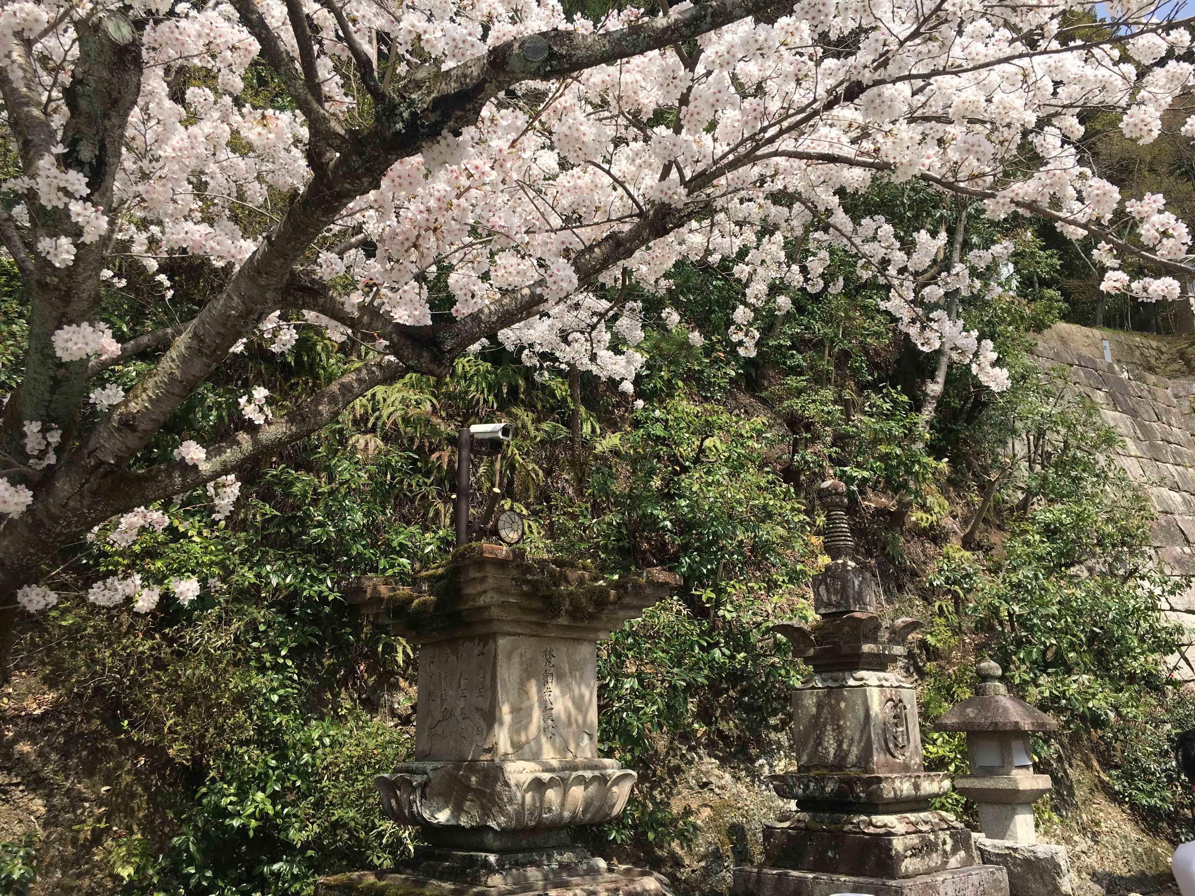 japonya-gezi-rehberi-sakuralar