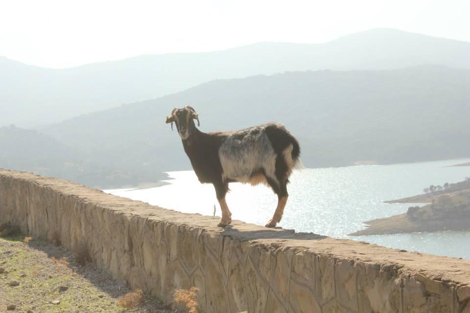 gökçeada'da keçiler